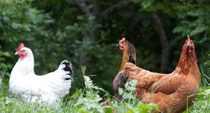 Les poules des épilobes