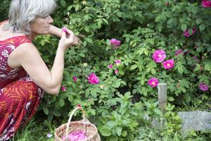 Cueillette des roses dans le jardin des épilobes avant extraction à la vapeur.