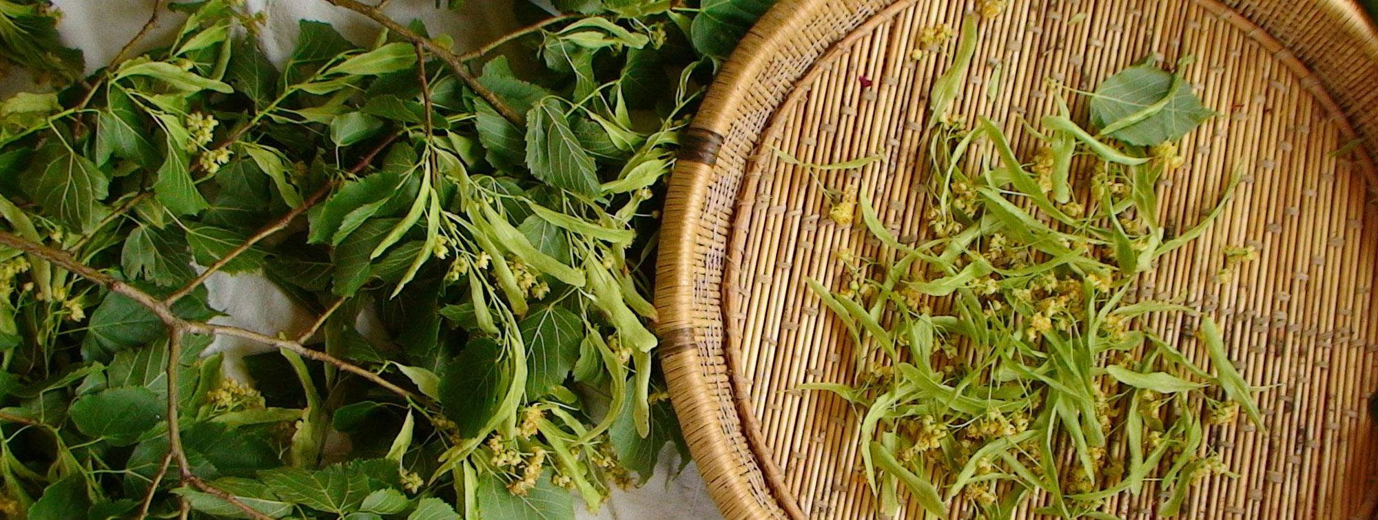 Récolte du tilleul et tri avant séchage